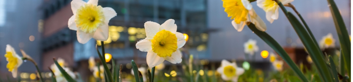 Onboarding: Blooming daffodils on campus
