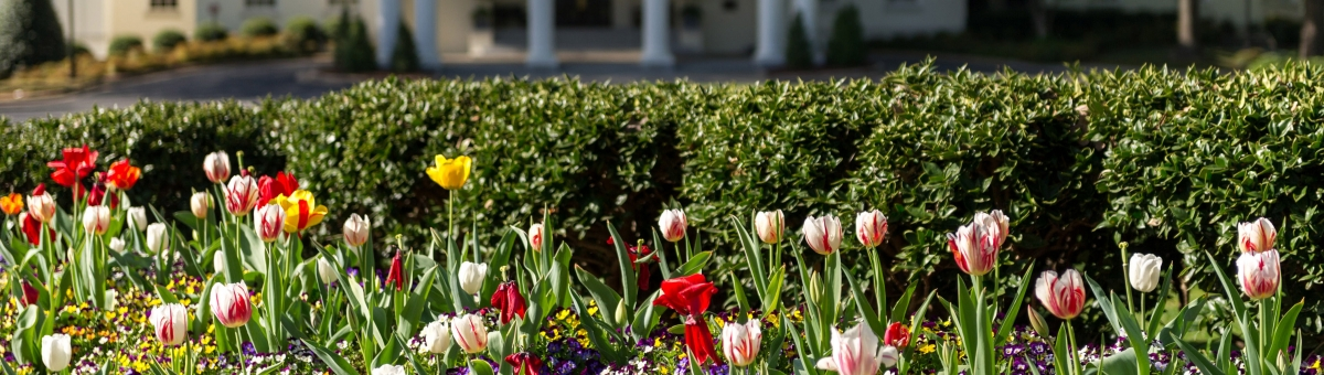 Newly Hired & Eligible - Blooming multicolored tulips at Georgia Tech.